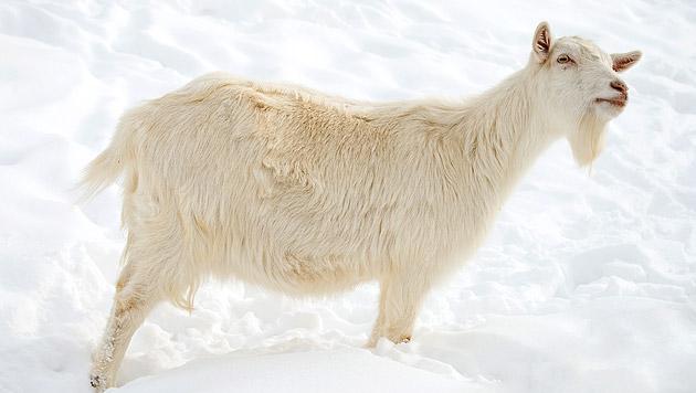 Tiere in Tiroler Bergen: Versorgung gewährleistet (Bild: thinkstockphotos.de (Symbolbild))