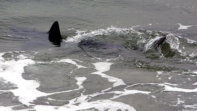 Mann kämpft gegen Hai, näht Bein und geht ins Pub (Bild: Jaume Sellart/EPA/picturedesk.com (Symbolbild))