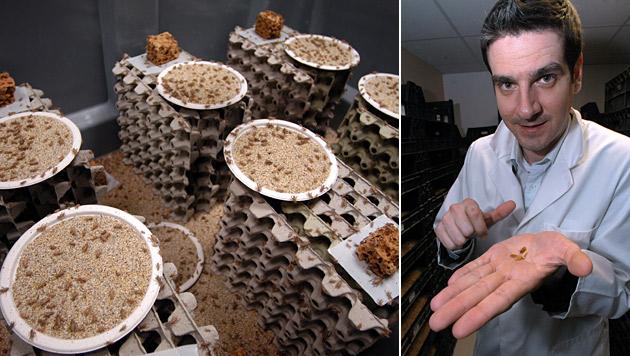 Franzose züchtet Grillen, Würmer - als Delikatesse (Bild: APA/dpa/Ansgar Haase)