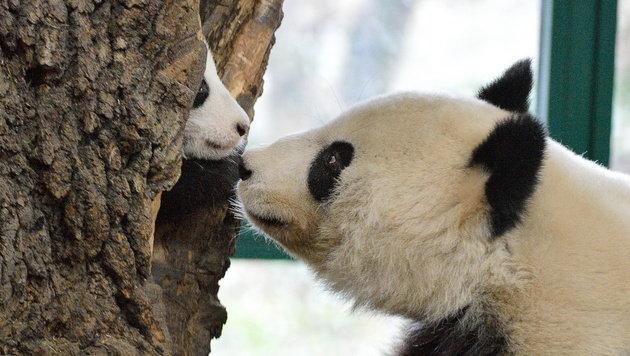 Schönbrunns Panda-Baby von Mama in Baum versteckt (Bild: Tiergarten Schönbrunn/Norbert Potensky)