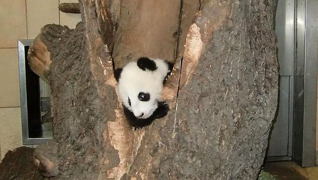 Schönbrunns Panda-Baby von Mama in Baum versteckt (Bild: Tiergarten Schönbrunn/Nicole Samek)