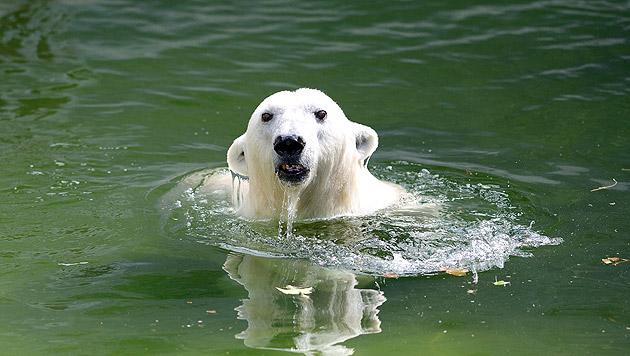 Eisbär in Stuttgart stirbt an verschluckter Jacke (Bild: APA/NORBERT POTENSKY (Symbolbild))