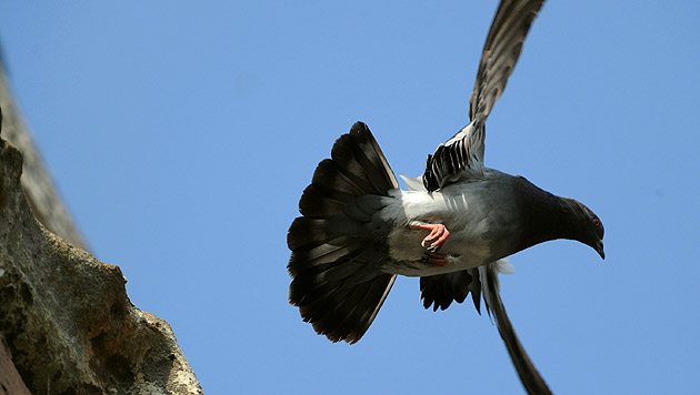 Ehrenamtliche Tierschützer tauschen Tauben-Eier (Bild: dpa/Uwe Zucchi (Symbolbild))