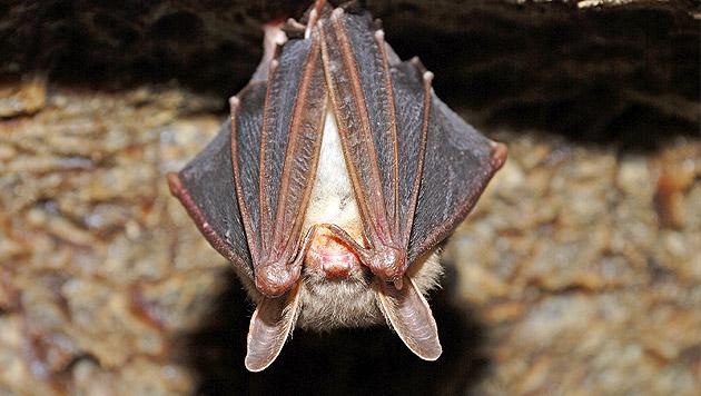 Tierschützer bewahren Fledermäuse vor Aussterben (Bild: thinkstockphotos.de)