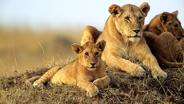 Acht Löwen in Nationalpark in Kenia vergiftet (Bild: thinkstockphotos.de)