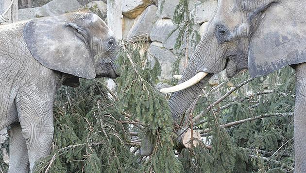 Nadeliges Frühstück für Elefanten in Schönbrunn (Bild: Norbert Potensky)