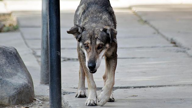 """""""Hachi"""" wartet seit fünf Jahren auf totes Herrchen (Bild: APA/EPA/Jorge Abrego)"""