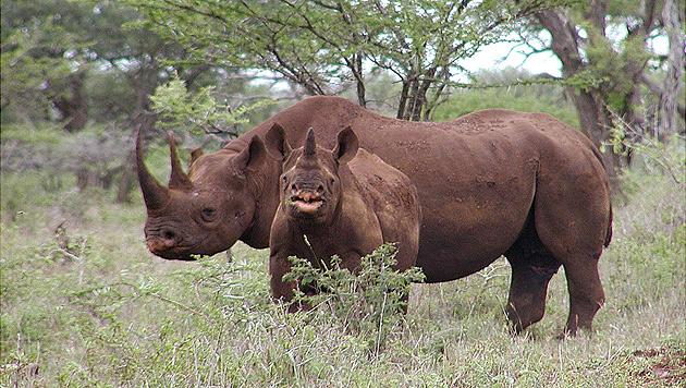 Spitzmaulnashörner, auch Schwarze Nashörner (Black Rhinos) genannt (Bild: AP)