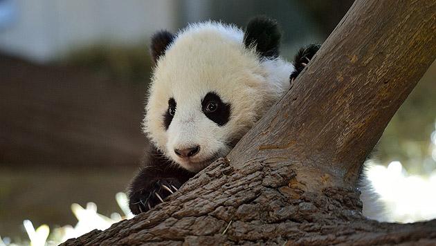 """Kletterfreudiger """"Fu Bao"""" begeistert Zoobesucher (Bild: Tiergarten Schönbrunn/Norbert Potensky)"""