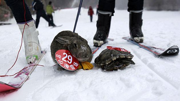 """China: Schildkröte bezwingt Hasen beim """"Skifahren"""" (Bild: AFP)"""