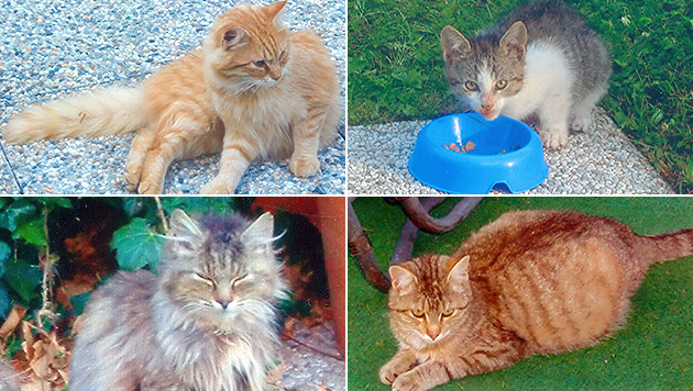 Unbekannter tötete Streunerkatzen mit Rattengift (Bild: Privat)