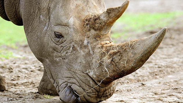 Rekordmenge geschmuggelter Nashorn-Hörner entdeckt (Bild: dpa/Holger Hollemann)