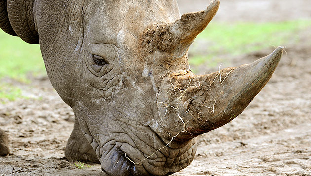 Tierschützer siedeln 100 Nashörner in Afrika um (Bild: dpa/Holger Hollemann)