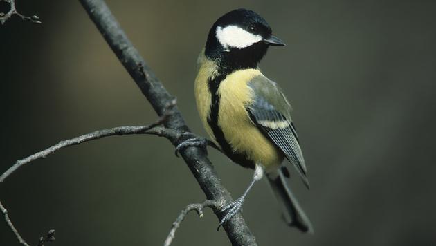 """Kohlmeise zum fünften Mal """"Wintervogel des Jahres"""" (Bild: APA/PETER BUCHNER)"""