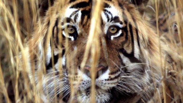 Zahl der Tiger in Indien um ein Drittel gestiegen (Bild: AFP)
