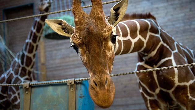 "Zweiter Giraffe ""Marius"" droht in Dänemark der Tod (Bild: APA/EPA/Keld navntoft)"