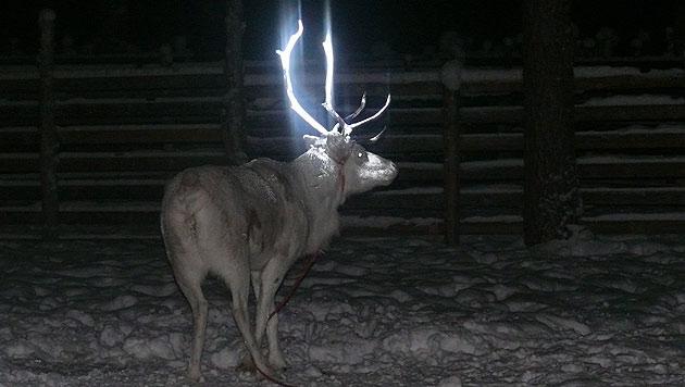 Lappland: Züchter testen Leuchtfarbe für Rentiere (Bild: AP)