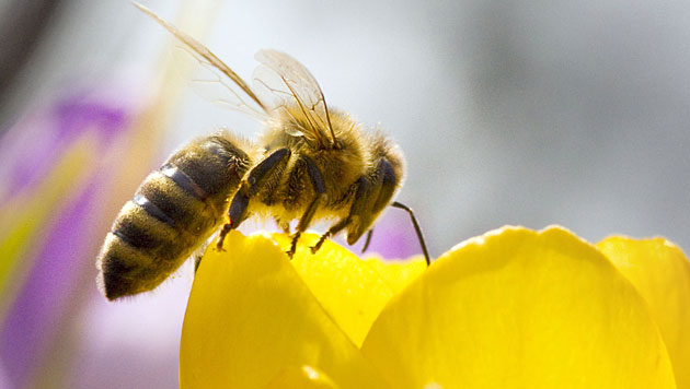 Bienen leben in der Stadt oft besser als am Land (Bild: APA/dpa/Frank Rumpenhorst)