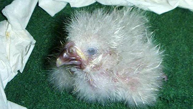 Extrem seltener papagei schlüpft aus geklebtem ei nur
