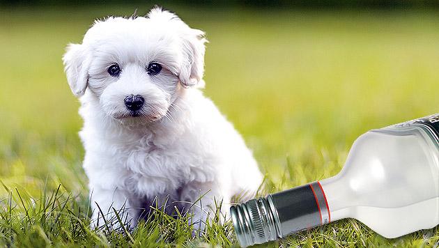 Tierärzte retten Hund mit einer Flasche Wodka (Bild: thinkstockphotos.de, krone.at-Grafik)