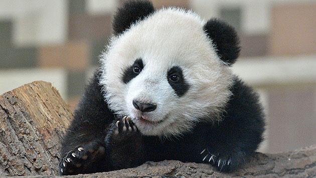 """Fu Bao"" unternimmt ersten Ausflug ins Freie (Bild: Tiergarten Schönbrunn/Norbert Potensky)"