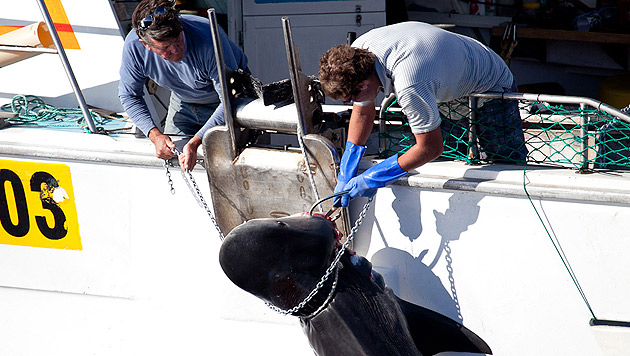 Hai-Tötung vor Westaustralien geht weiter (Bild: AP)