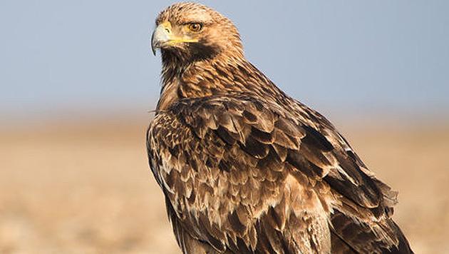 Bgld: Jäger erschießt aus Versehen Kaiseradler (Bild: wikipedia.org/Sumeet Moghe (Symbolbild))