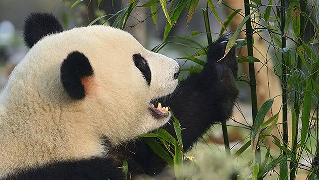 Chinesische Firma plant Klopapier aus Panda-Kot (Bild: thinkstockphotos.de)