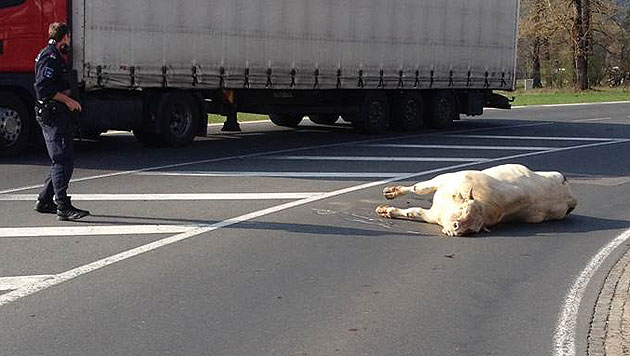 700-Kilo-Stier verletzt Motorradfahrerin schwer (Bild: Polizei)