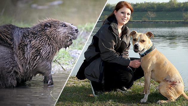 """Rüde """"Bronco"""" wurde auf Donauinsel zum Biber-Opfer (Bild: thinkstockphotos.de (Symbolbild), Zwefo)"""