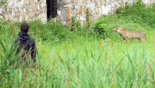 Ein Gepardenweibchen nach ihrem Ausbruch aus dem Gehege im Juni 2012. (Bild: APA/Neumayr/MMV)