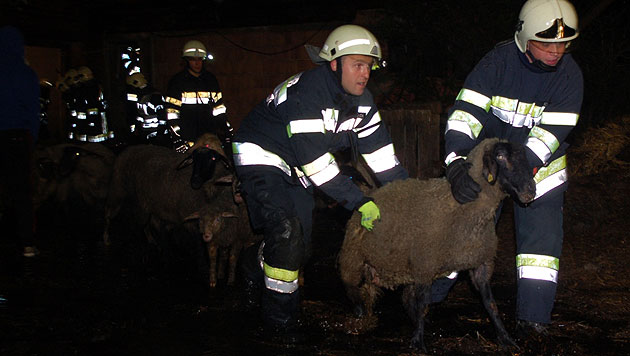 Florianis retten 60 Schafe vor dem Flammentod (Bild: BFVMZ Pusterhofer)