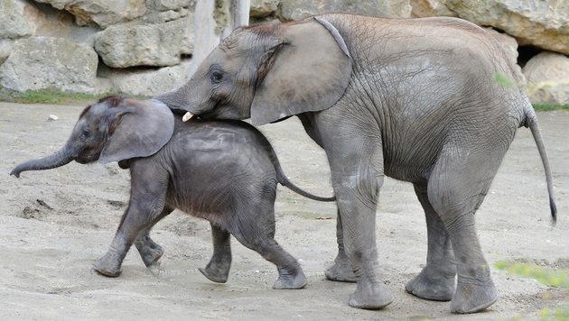 Elefantenkinder toben zusammen im Zoo Schönbrunn (Bild: APA/TIERGARTEN SCHÖNBRUNN/PETRA URBANEK)