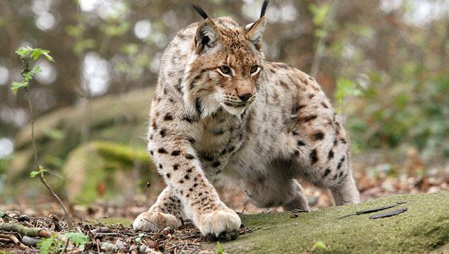 Geschütztes Wild in Gefahr - Änderungen gefordert (Bild: dpa/A2882 Holger Hollemann (Symbolbild))