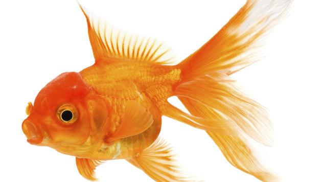 Verurteilt: Brite verzehrte lebenden Goldfisch (Bild: thinkstockphotos.de)