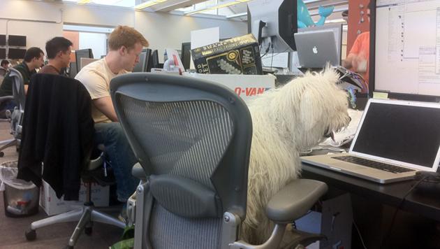 Mitunter nimmt Mark Zuckerberg seinen Hund mit zur Arbeit - wo er sich offensichtlich gut einbringt. (Bild: facebook.com/beast.the.dog)