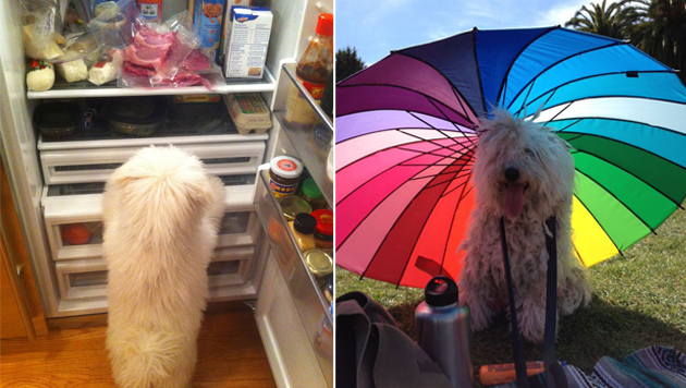Beast in Aktion: Beim Plündern des Familienkühlschranks und beim Picknick im Schatten. (Bild: facebook.com/beast.the.dog)