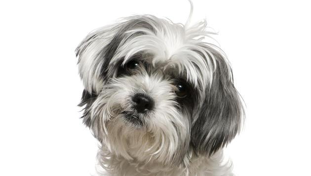 Frauerl durfte nicht mit Hund zu Begräbnis fliegen (Bild: thinkstockphotos.de (Symbolbild))