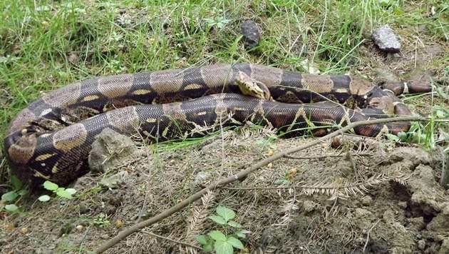 Zweieinhalb Meter lange Schlange in Wald gefunden (Bild: APA/POLIZEI)