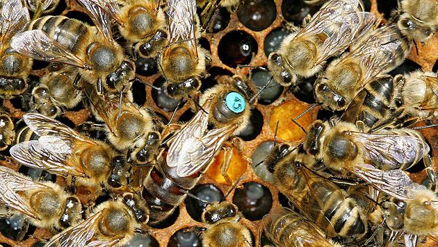 Zwölf Bienenvölker auf Tiroler Alm vergiftet (Bild: dpa/Lander Andreas)