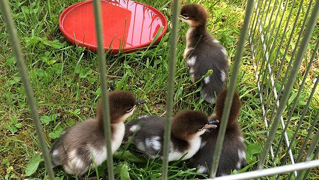 NÖ: Florianis brachten Entenfamilie in Sicherheit (Bild: FF-Hadersdorf)