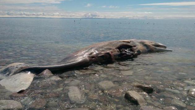 Kanada: Dorf wollte toten Wal über eBay verkaufen (Bild: eBay/Caper Stgeorge)