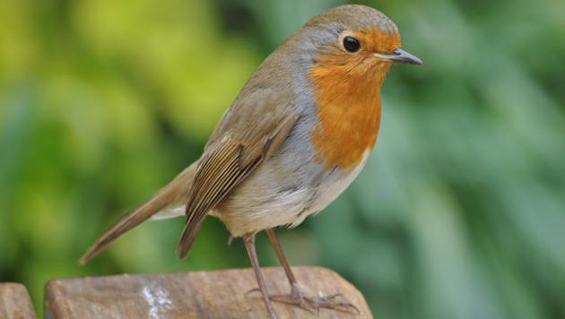 Auch ältere Zugvögel können Navigieren noch lernen (Bild: flickr.com/Loco Steve)