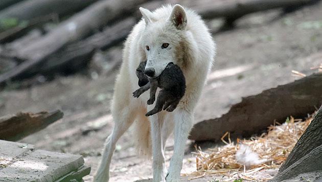 Flauschiger Wolfsnachwuchs im Zoo Schönbrunn (Bild: Norbert Potensky/Tiergarten Schönbrunn)