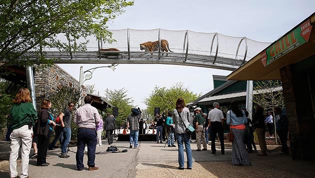 Tiger über den Köpfen: An diesen Anblick muss man sich von im Zoo von Philadelphia noch gewöhnen. (Bild: AP)