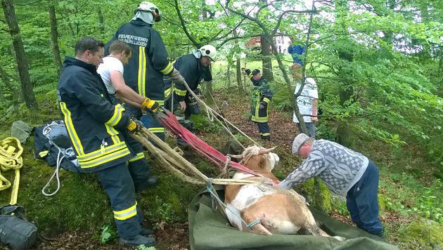 Feuerwehr rettet ausgebüxten Ochsen - ein Tier tot (Bild: APA/FF BAD MÜHLLACKEN)