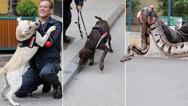 Zoll-Spürnasen auf Trainingslager im Wiener Zoo (Bild: Zwefo, krone.at-Grafik)