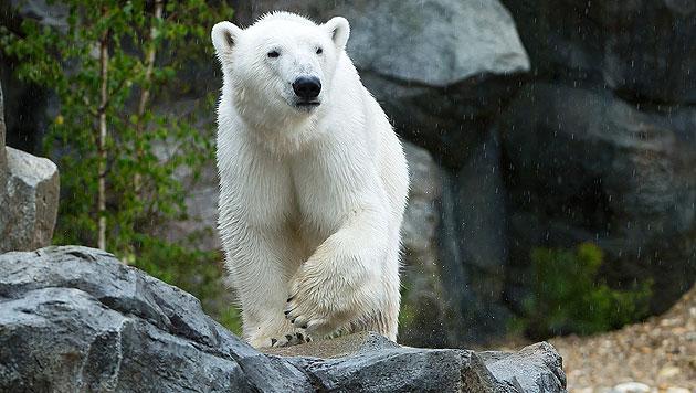 """Eisbär """"Ranzo"""" erkundet sein neues Gehege. (Bild: Daniel Zupanc)"""