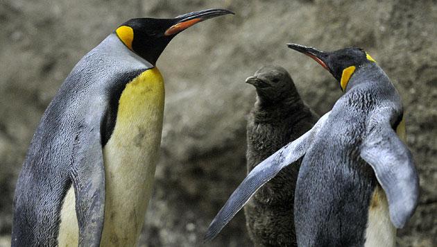 Gab es Pinguine bereits zur Zeit der Dinosaurier? (Bild: APA/dpa/Marius Becker)