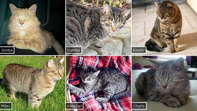 Bereits 22 Katzen in NÖ spurlos verschwunden (Bild: Privat)